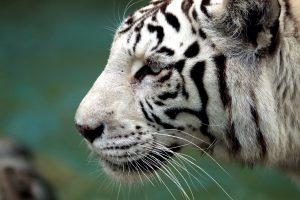 Neraminantys skaičiai: per kelis metus Nepale nugaišo 11 retų tigrų