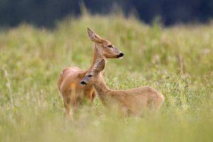 Jei eisime artyn prie gyvūnų jauniklių, pas juos mamos gali ir nebesugrįžti