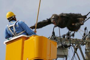 Iš zoologijos sodo pabėgusi šimpanzė sukėlė dramą