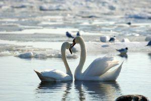 Panemunėje dėl šiltų orų žiemoja mažiau paukščių