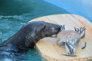 Zoologijos sode – ruonio perkėlimo operacija