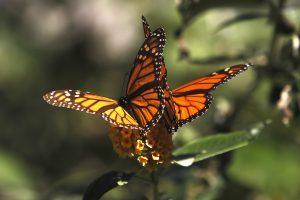 D. Trumpo siena gali sutrukdyti drugelių migracijai