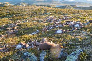Norvegijoje žaibas užmušė per 300 šiaurinių elnių