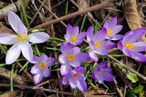 Jau džiugina pirmieji pavasario ženklai