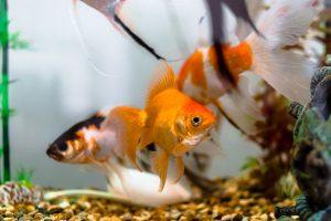 Skaliarai – nereiklios akvariumų žuvys