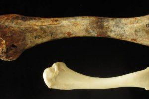 Australijoje kadaise gyveno didžiulės skraidančios vištos