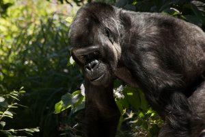Dėl žmogaus veiklos gali išnykti 60 proc. primatų