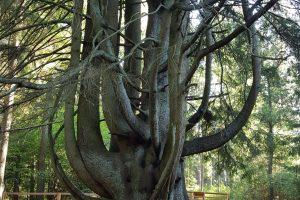 Raganų eglė – Europos medžio konkurse (kviečia balsuoti)