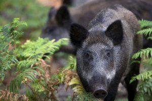 Plintant kiaulių marui – nesutariamai dėl mokesčių už šernus