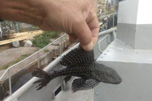 Kuršių mariose – egzotinė žuvis iš Pietų Amerikos