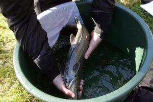 Dėl sausros siūlo riboti lašišų žvejybą