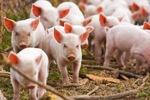 Senieji metai baigiasi, afrikinis kiaulių maras – ne