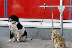 Klaipėdos mieste neliko benamių šunų