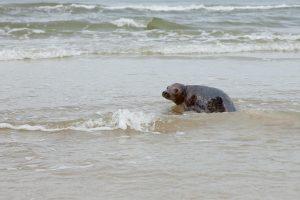 Muziejus paleido į jūrą du ruoniukus