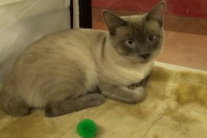 Katės, kurių uodegas princesės naudojo papuošalams kabinti