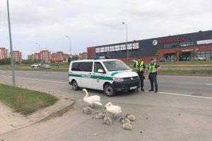 Policininkai pagelbėjo per gatvę ėjusiai gulbių šeimynėlei