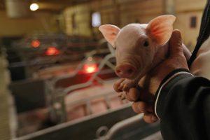 Kiaulių maras skverbiasi į smulkius ūkius