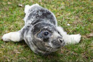 Jūrų muziejus priglaudė du sužalotus ruoniukus