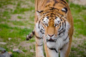 Kinijos parke lankytojų akivaizdoje tigras sudraskė žmogų