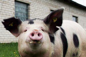 Anykščių rajone – antras kiaulių maro atvejis ūkyje