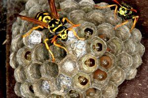 Gamtininkas: ir neturint alergijos galima stipriai nukentėti nuo širšių