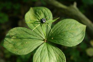Kaune akligatviai bus pakrikštyti augalų pavadinimais