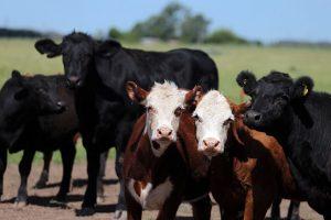 Ugandoje į kelią išėjusi karvė išprovokavo 14 gyvybių nusinešusią avariją