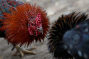 Kalifornijoje iš gaidžių peštynių organizatorių konfiskuota 7 tūkst. paukščių