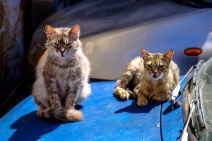 8 iš 10 vairuotojų į plovyklą sugrįžta dėl kačių nupėduoto automobilio
