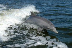 Nugaišo daugiau kaip 80 plastikinių maišelių prarijęs delfinas