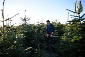 Vietinius eglučių augintojus iš Latvijos stumia suomiai