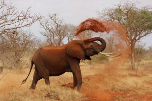 Siekiama supurtyti dramblių brakonieriavimo verslą