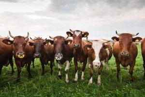 Latvijos kaimuose siautėjantys sukčiai apsimeta gyvulių supirkėjais