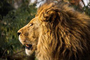 Pietų Afrikoje liūtai sudraskė ir suėdė brakonierių