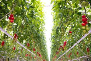 Parduotuvėse pasirodė pirmasis lietuviškų pomidorų derlius