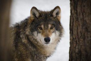 Vilkai ir lūšys bus skaičiuojami naujais būdais