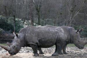 Po brakonieravimo Prancūzijoje čekų zoologijos sodas nupjaus raganosiams ragus