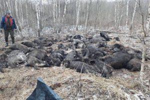 Lietuvos kiaulių augintojų asociacijos nuotraukoje – šiurpi kiaulių maro realybė