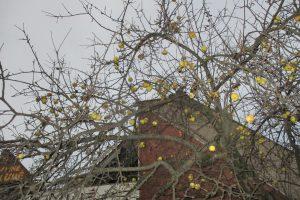 Obelis Kaune ir per Kalėdas dar gausiai pasipuošusi vaisiais