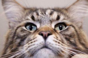 Katės, kurių ūsai gali užaugti iki 16,5 cm ilgio