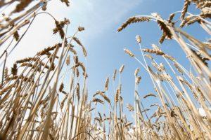 Ekologiniai ūkiai: prieš kiekvieną sėją – pasikeitusios taisyklės