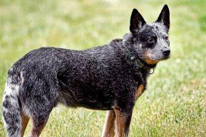 Australų bandganis: tvirtas, ištikimas ir gali suvaldyti avių bandą