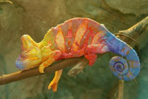 Ką rodo išryškėję geltoni chameleono šonai?