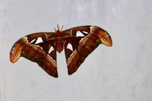 Kauno botanikos sode sparnus išskleidė Azijos milžinas