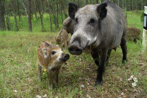 Kiaulių maras pavojingas bet kokio amžiaus gyvuliui
