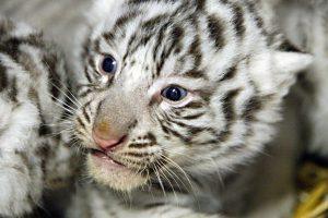Klaipėdos zoologijos sode – itin retos rūšies tigrų jaunikliai