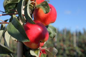 Obuolius išplukdė potvynis