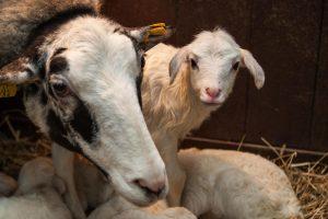 Avies Baltakaklės rekordas – penki ėriukai