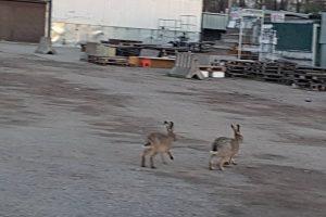 Tilžės turgų aplankė zuikiai