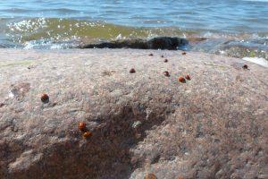 Ventėje stebina boružių spiečiai